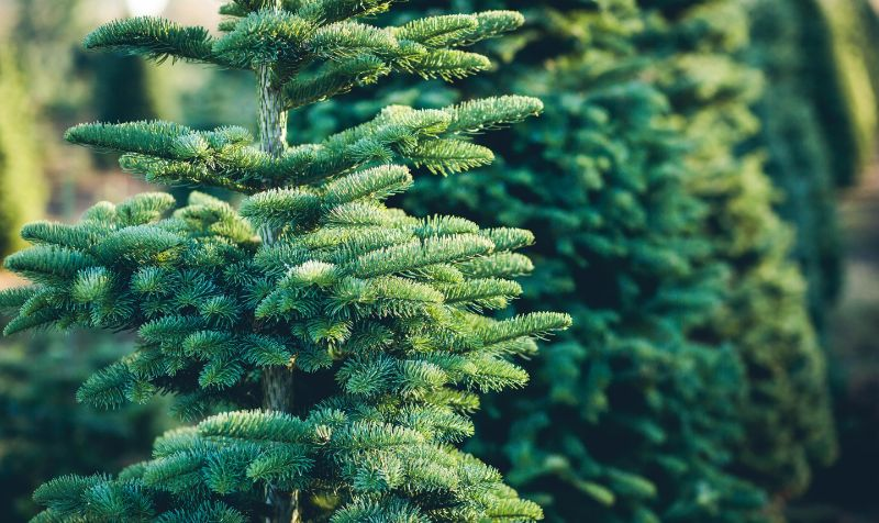 Christmas tree rental firm uses Citroen e-Dispatch to cut carbon emissions